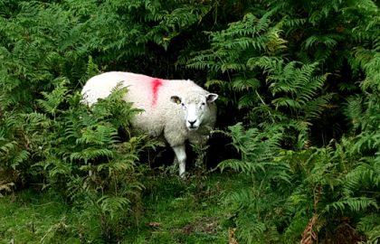 סופרת כבשים